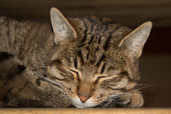 Tabby Cat laying on side. Sleeping Royalty Free Stock Photos