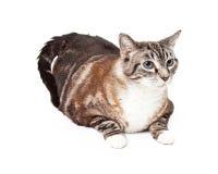 Tabby Cat Laying Tri coloreada grande Fotografía de archivo