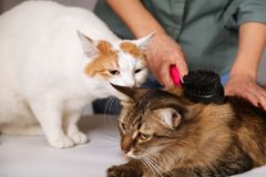 Tabby cat lays and enjoys combing and the other cat is watching him. The concept of pet care.  royalty free stock photos