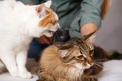 Tabby cat lays and enjoys combing and the other cat is watching him. The concept of pet care stock images
