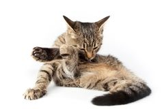 Tabby cat licking its paw royalty free stock photo