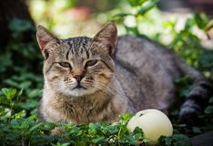 A tabby cat lies in the grass near an apple. Selective focus stock photography