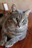 Tabby Cat lies and looks into camera Stock Image