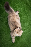 Tabby cat lies on white background Royalty Free Stock Photography