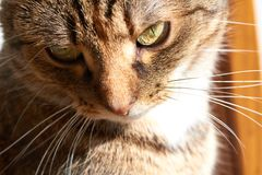 Tabby Cat ligt en onderzoekt camera royalty-vrije stock afbeelding