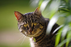 Tabby Cat with Lily Leaves. A large male British tabby cat stares with bright amber eyes from behind a swath of lily leaves Stock Image