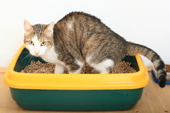 Tabby cat on litter box. Tabby cat with three colors - white, brown and black - sitting on litter box - cat toilette stock image
