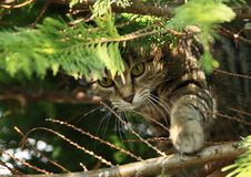 Tabby cat hiding in tree. Tabby cat - little kitty with collar hiding in tree and waiting for prey. Pet animal concept stock image