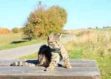 Tabby cat - scratching kitten royalty free stock photography