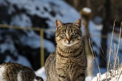 Tabby cat with the look of an experienced hunter. Striped cat with the look of an experienced hunter Royalty Free Stock Photography