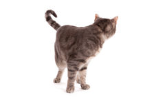 Tabby cat looking back Stock Images