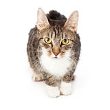 Tabby Cat Looking At Camera Stock Photo