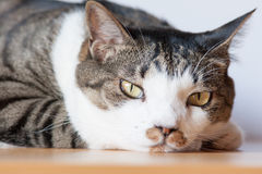 Tabby cat looking at camera. A tabby cat looking at camera Royalty Free Stock Image