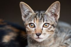 Tabby cat looking at camera. Cute tabby cat looking at camera, pet at home royalty free stock image