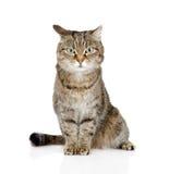 Tabby Cat Looking At Camera Geïsoleerdj op witte achtergrond stock foto