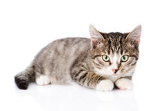 Tabby Cat Looking At Camera Geïsoleerdj op witte achtergrond royalty-vrije stock foto's