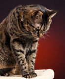 Tabby Cat Looking Down. A mackerel tabby cat looking down from post with a red background stock photography