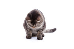 Tabby Cat Looking Down Royalty Free Stock Photography