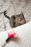 Tabby cat looking at a feather toy Stock Photo