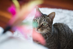 Tabby cat looking at a feather toy. At home Stock Image