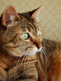 Tabby cat looking at future Stock Images