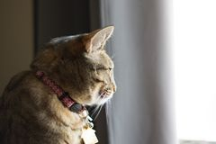 Tabby cat looking left out window calm and relaxed. With collar on stock photography