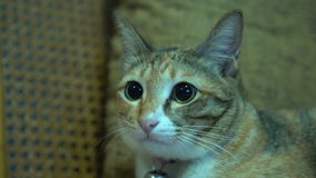 Tabby cat looking and listen to the sound of television stock video