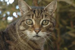 Tabby Cat Looking an mir stockfoto
