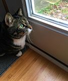 Tabby Cat Looking Out the Window. A Tabby Cat looking out a window of a home Stock Photos