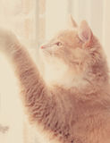 Tabby cat looking out the window Royalty Free Stock Image