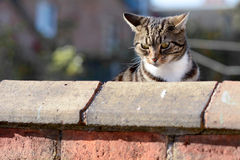 Tabby cat looking over wall Stock Photo