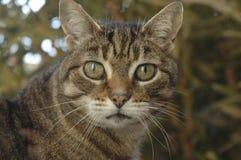 Tabby Cat Looking på mig arkivfoto