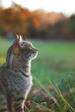 Tabby Cat Looking into the Sunset. Tabby cat sits peacefully in the countryside and stares up into the sunset Royalty Free Stock Photos