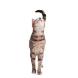 Tabby cat looking up Royalty Free Stock Images