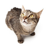 Tabby cat looking up afraid Stock Image