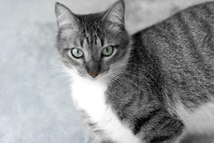 Tabby Cat Looking Up Closeup Duotone Royalty Free Stock Photo