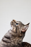 Tabby Cat Looking Up Royalty Free Stock Photography