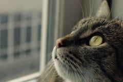Tabby Cat Looking Up, fim acima Tiro colhido de um gato imagem de stock royalty free