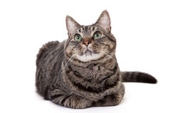 Tabby Cat Looking Up. Grey striped domestic shorthair tabby cat with green eyes looking up isolated on white background stock images