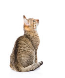 Tabby cat looking up. isolated on white background.  Royalty Free Stock Photography