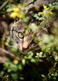 Tabby Cat Looking Up Through Palnts. An attractive tabby cat looking up towards the viewer through garden plants and flowers. There is a low depth of field but Royalty Free Stock Photo