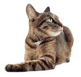 Tabby cat looking up to the right isolated on white background. Royalty Free Stock Image