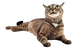 Tabby cat looking up on white background. Royalty Free Stock Images