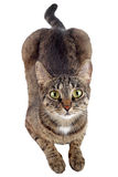 Tabby cat looking up. Royalty Free Stock Photography