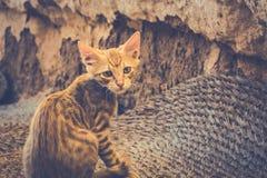 Tabby Cat looks into camera Stock Photo