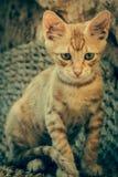 Tabby Cat looks into camera Royalty Free Stock Photos