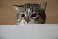 Tabby Cat. Looks over a bed edge Stock Image