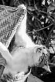 Tabby cat lost footing from a chair and holding on with a claw stock photography
