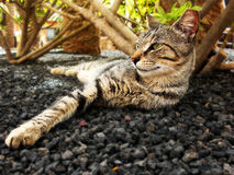 Tabby Cat Lounging Stock Image