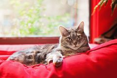 Tabby Cat Lounging door Venster op Bank Stock Fotografie